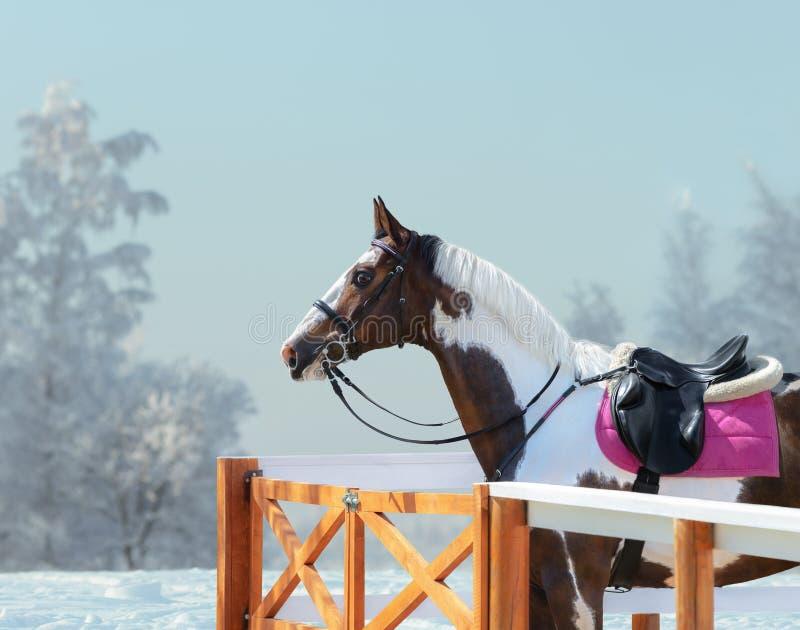 Cavalo americano da pintura com freio e sela inglesa no inverno imagem de stock