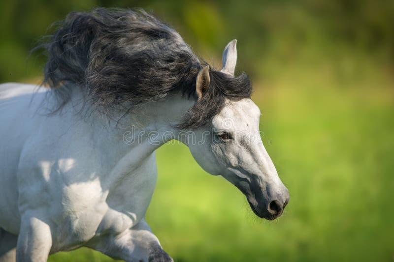 Cavalo andaluz branco foto de stock