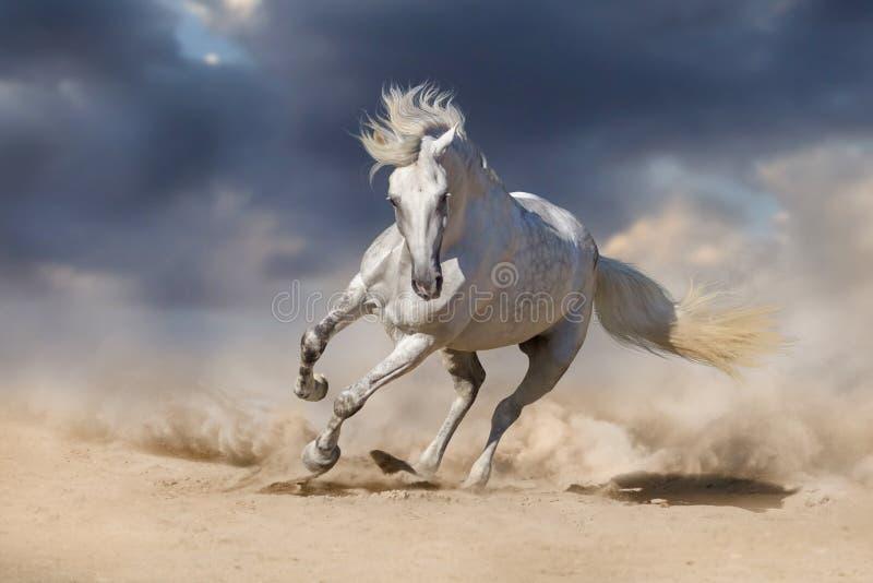 Cavalo andaluz branco fotografia de stock