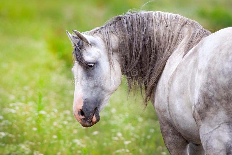 Cavalo andaluz branco fotografia de stock royalty free