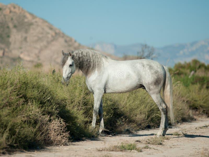 Cavalo andaluz branco em preries espanhóis imagem de stock