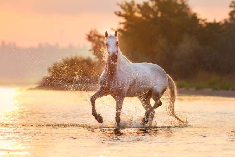 Cavalo andaluz branco na água imagem de stock