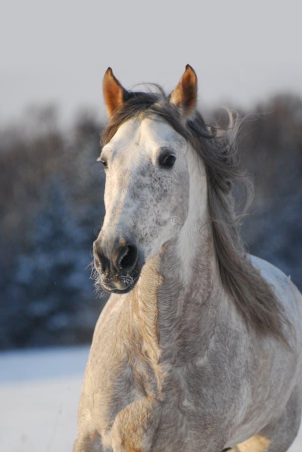 Cavalo andaluz cinzento do retrato foto de stock royalty free