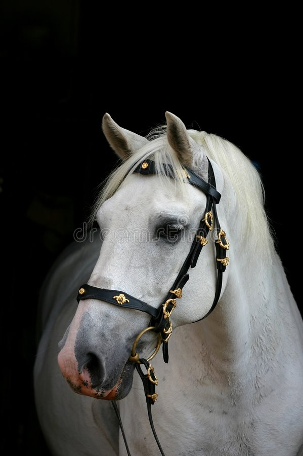 Cavalo andaluz no preto foto de stock