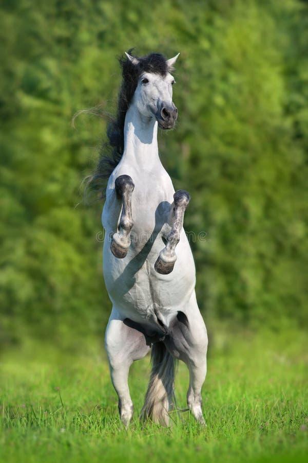Cavalo andaluz que eleva acima imagem de stock
