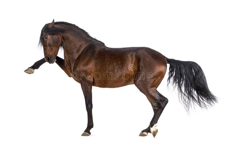 Cavalo andaluz que executa a caminhada do espanhol foto de stock