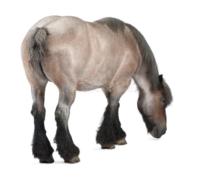 Cavalo belga, cavalo pesado belga, Brabancon imagem de stock royalty free