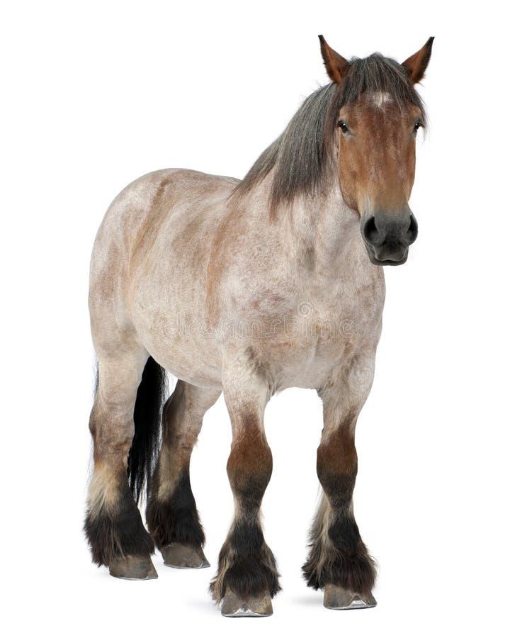 Cavalo belga, cavalo pesado belga, Brabancon foto de stock