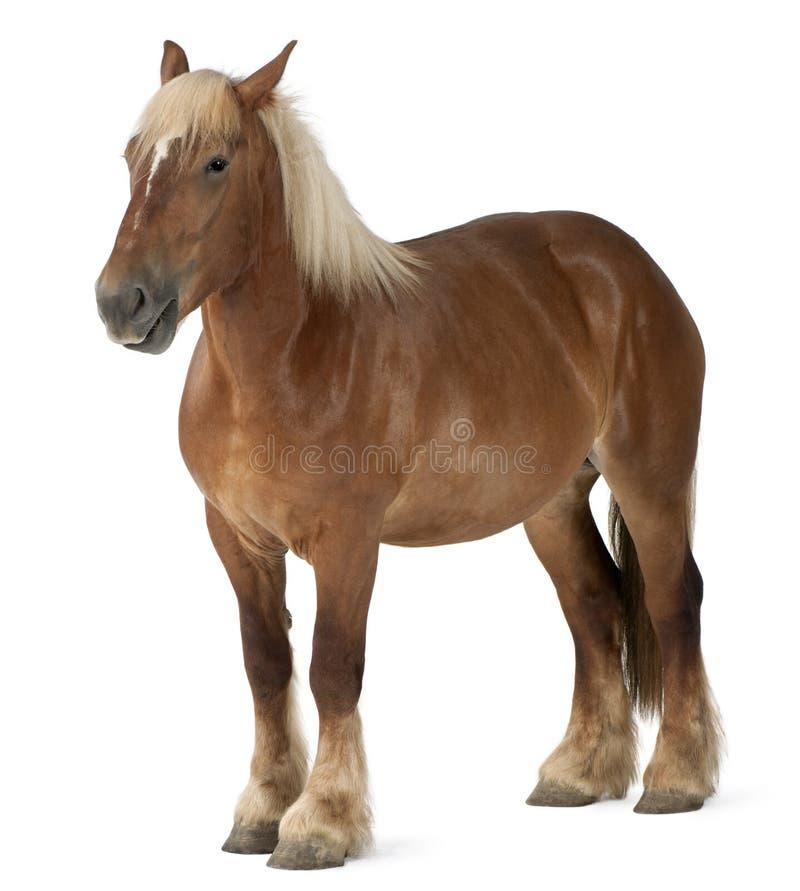 Cavalo belga, cavalo pesado belga, Brabancon fotos de stock