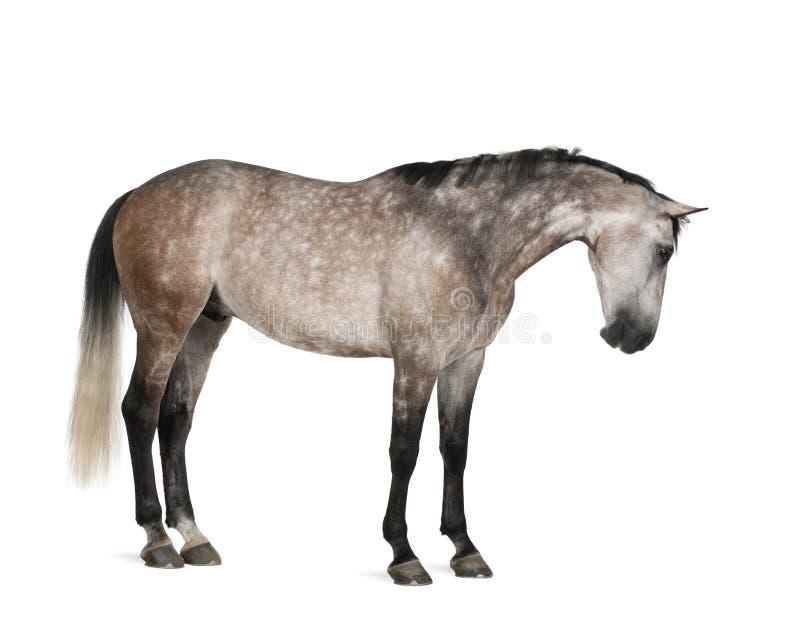 Cavalo belga de Warmblood, 6 anos velho, posição foto de stock