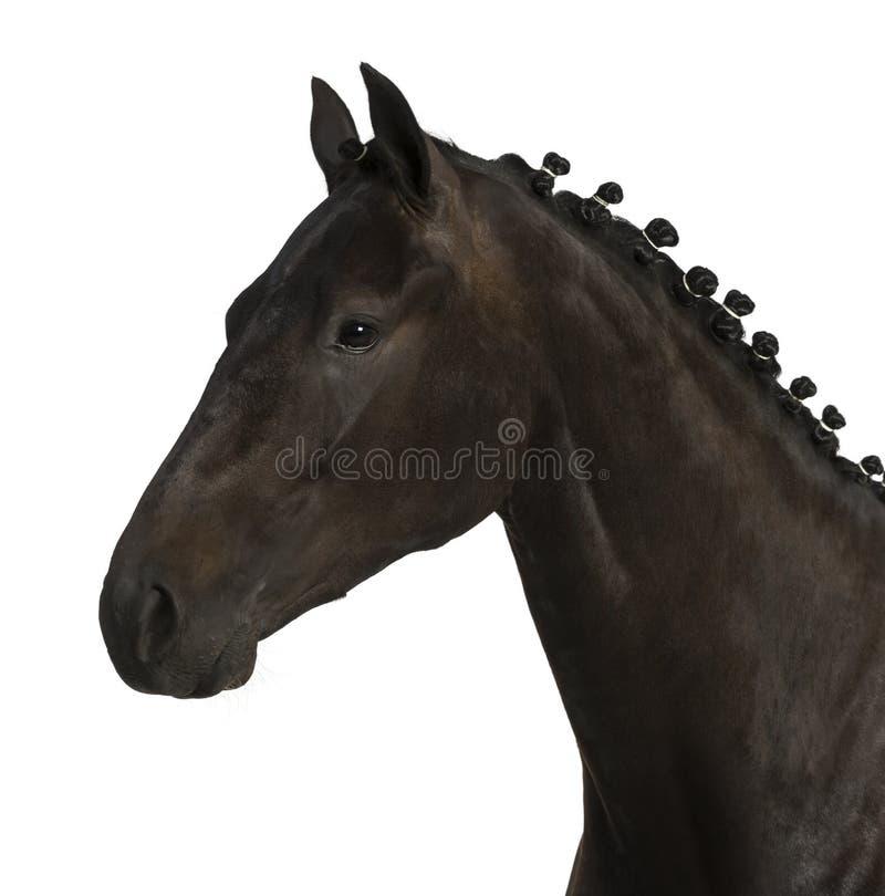 Cavalo belga do esporte (sBs) - 25 anos velho fotos de stock