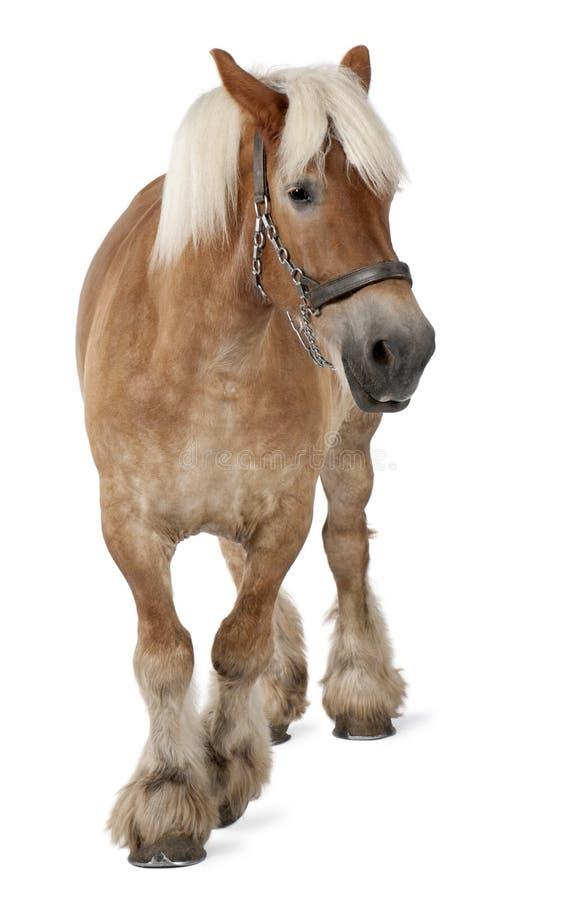 Cavalo belga, cavalo pesado belga, Brabancon, uma raça do cavalo de esboço, 10 anos velha imagem de stock