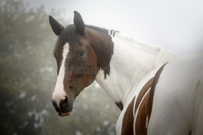 Cavalo bonito da pintura que olha de volta à câmera em uma manhã nevoenta do outono fotos de stock royalty free