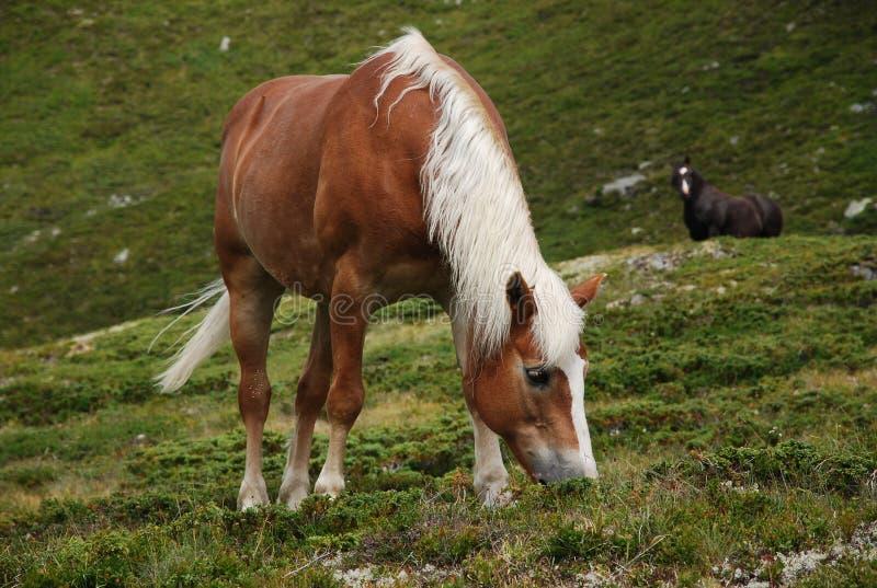 Cavalo bonito nas extensões vastas da montanha na estrada Timmelsjoch foto de stock royalty free