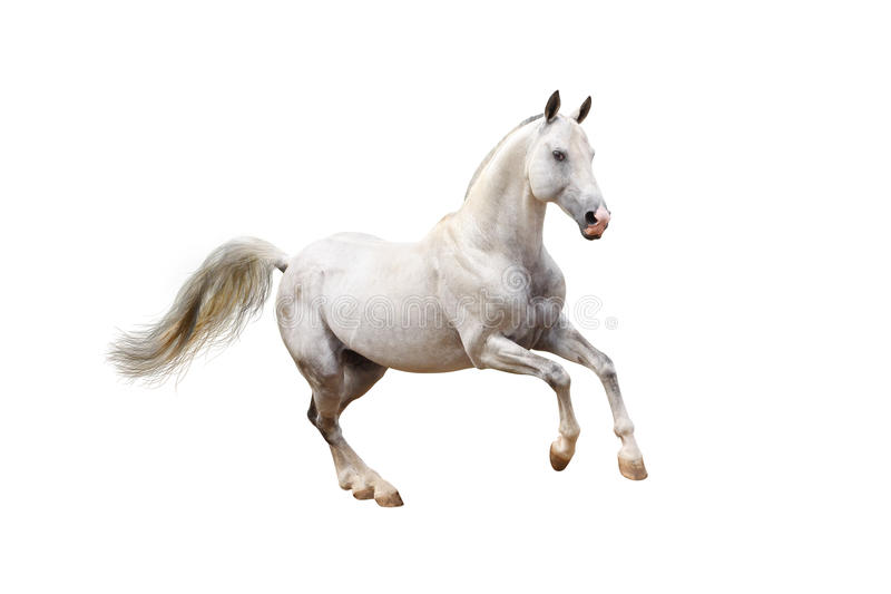 Cavalo branco fotografia de stock royalty free