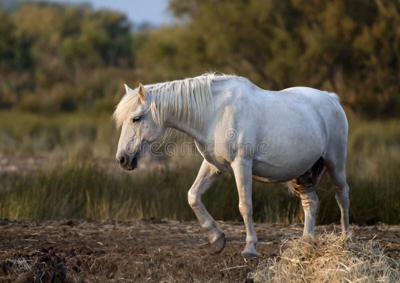 Cavalo branco bonito foto de stock