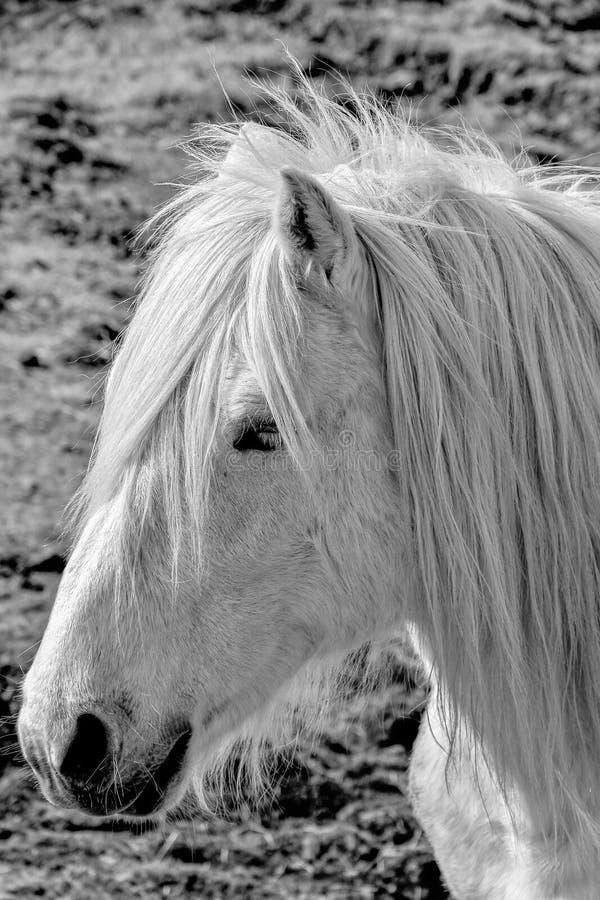 Cavalo branco bonito com retrato da juba fotografia de stock royalty free