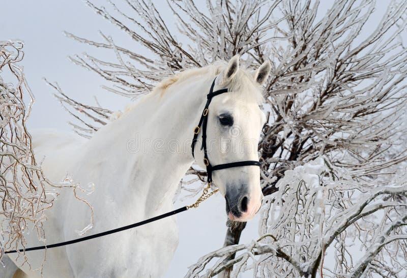 Cavalo branco bonito na floresta do inverno imagem de stock royalty free