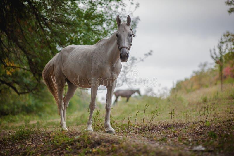 Cavalo branco bonito imagens de stock royalty free