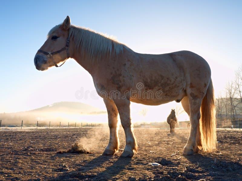 Cavalo branco Cavalos que pastam no prado enlameado fotografia de stock
