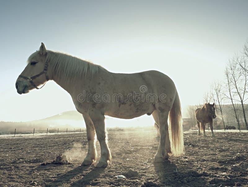 Cavalo branco Cavalos que pastam no prado enlameado imagem de stock