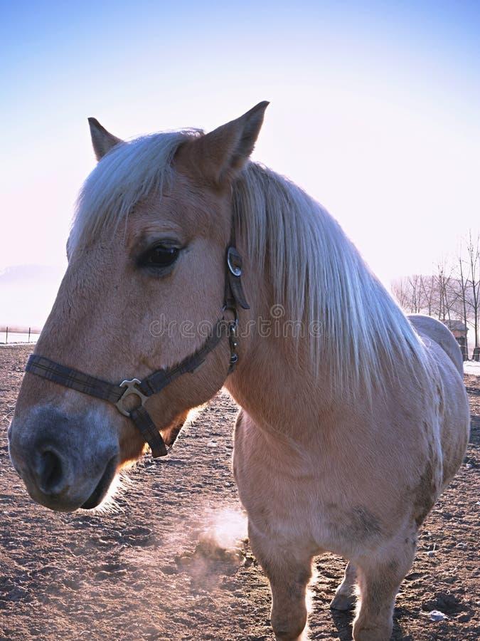 Cavalo branco Cavalos que pastam no prado enlameado fotografia de stock royalty free