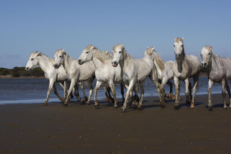 Cavalo branco de Camargue imagens de stock royalty free