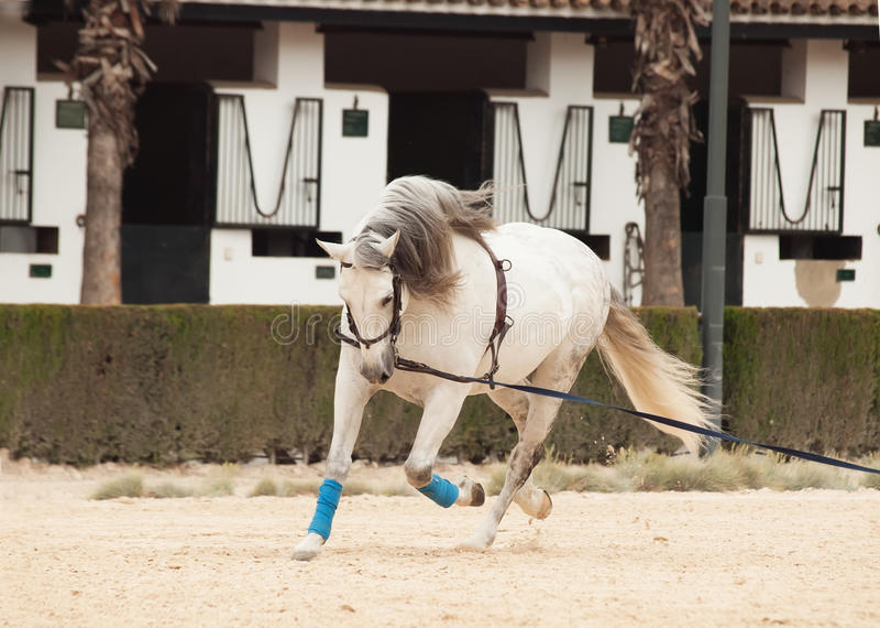 Cavalo branco de formação no longe Andalisia, foto de stock