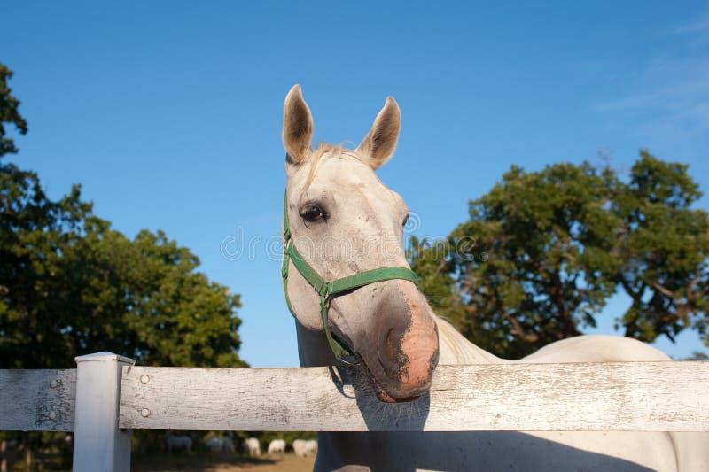 Cavalo branco de Lipizzan imagens de stock