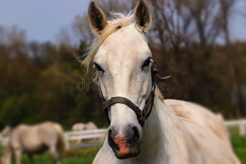 Cavalo branco do retrato foto de stock royalty free