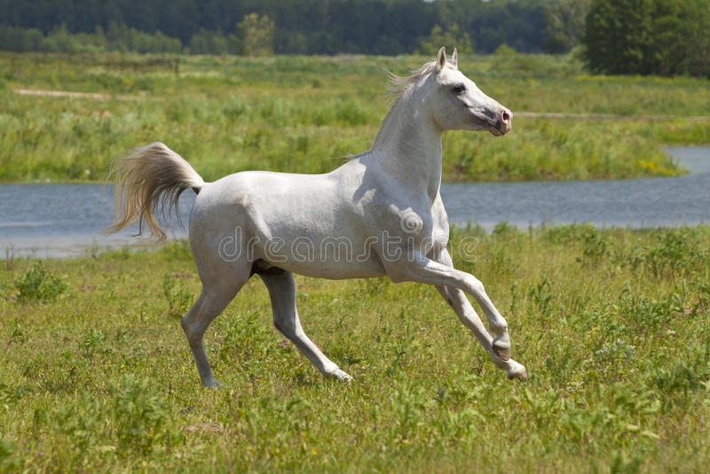 Cavalo branco e água fotografia de stock