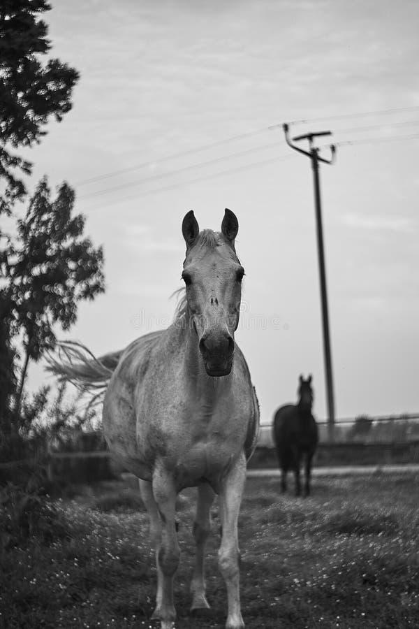 Cavalo branco em um pasto imagem de stock royalty free