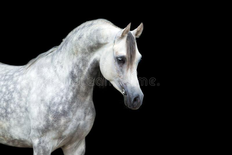 Cavalo branco isolado no cavalo preto, árabe fotografia de stock