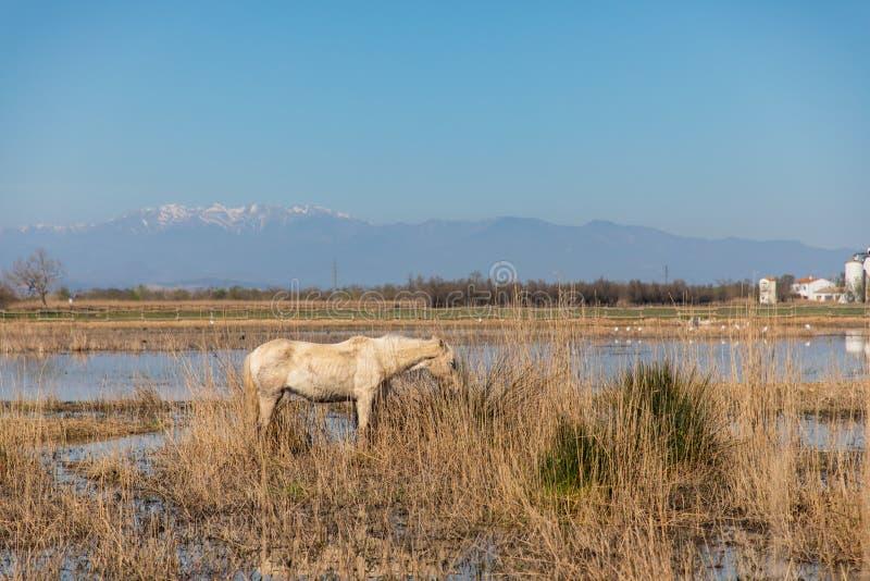 Cavalo branco, magro e sujo no campo pantanoso com a montanha nevado no fundo foto de stock