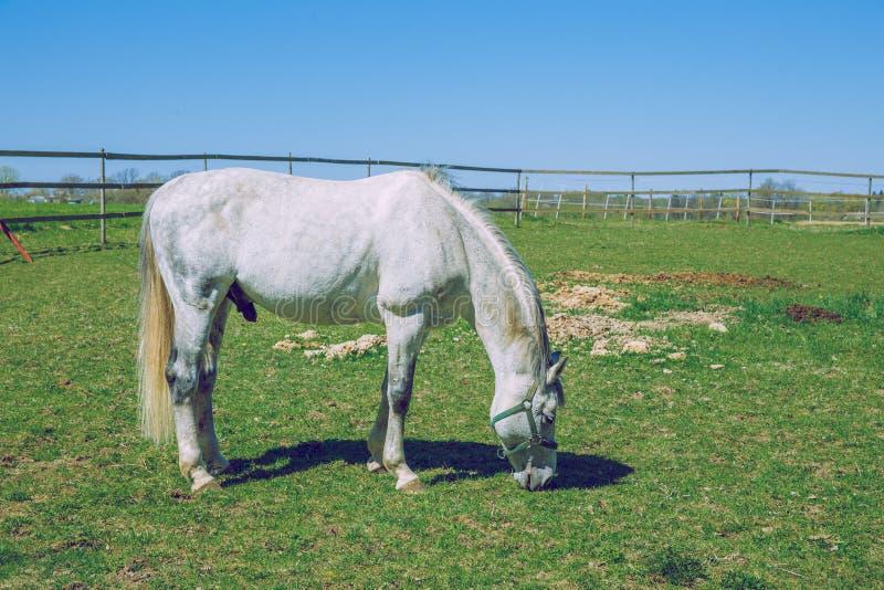 Cavalo branco Mola ensolarada no prado letão com mangueira branca fotos de stock royalty free