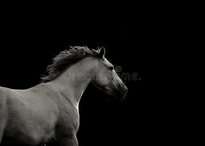 Cavalo branco na obscuridade que corre rapidamente imagem de stock