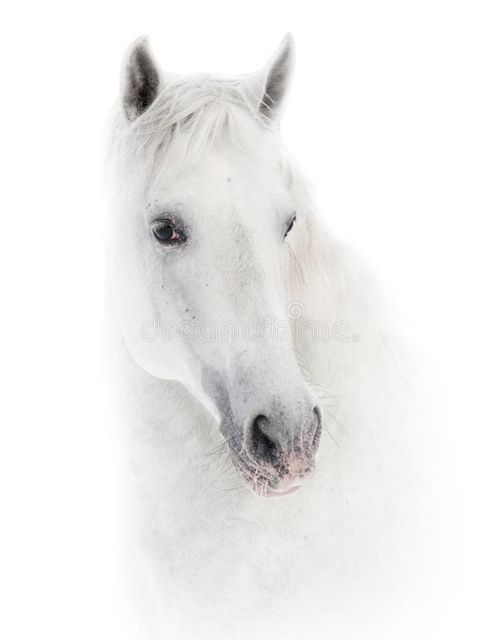 Cavalo branco nevado no branco imagem de stock royalty free