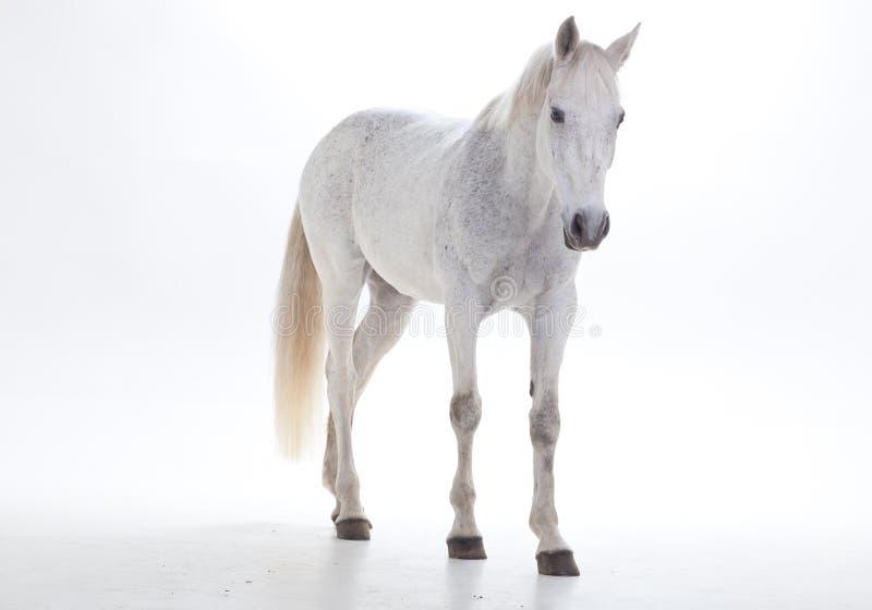 Cavalo branco no estúdio imagem de stock royalty free