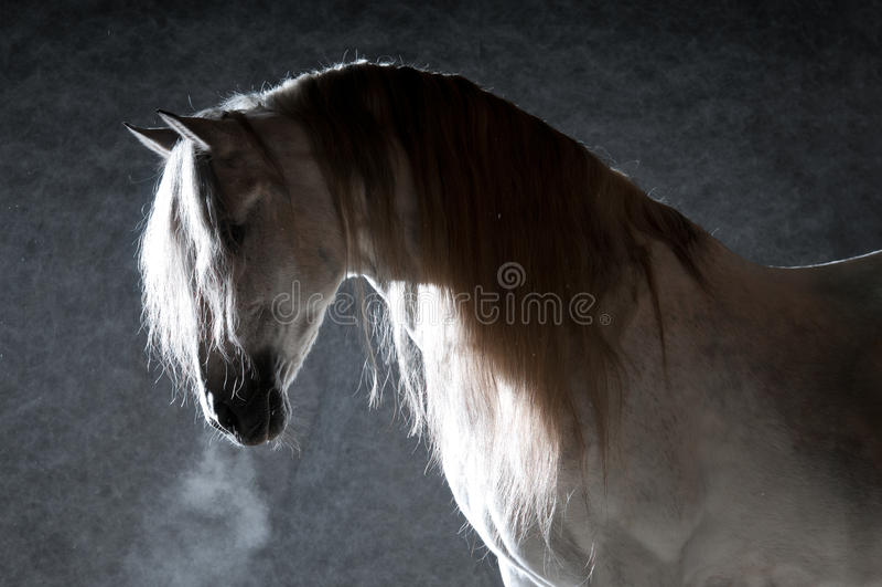 Cavalo branco no fundo escuro fotografia de stock royalty free