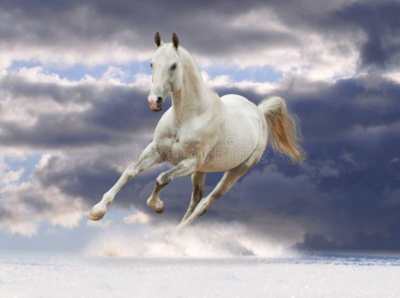 Cavalo branco no inverno imagens de stock royalty free