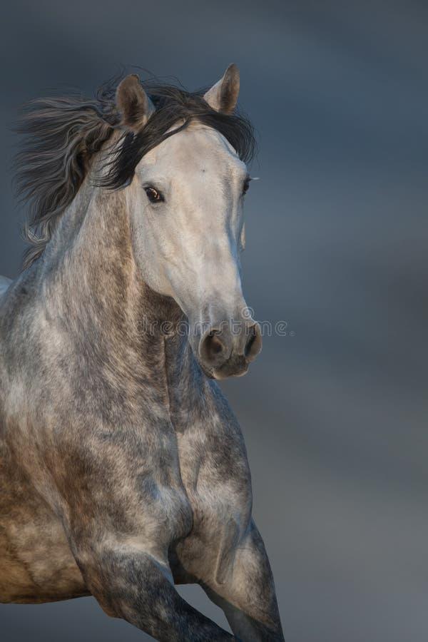Cavalo branco no movimento foto de stock royalty free