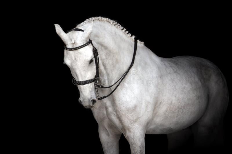 Cavalo branco no preto fotografia de stock royalty free