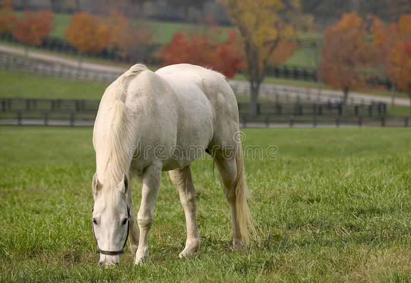 Cavalo branco que come a natureza de nivelamento bonita das hortaliças da grama imagens de stock royalty free