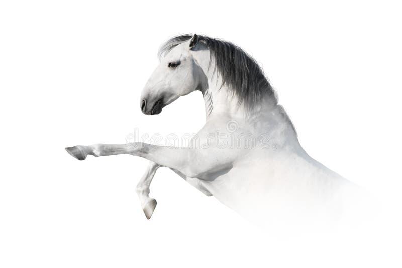 Cavalo branco que eleva acima fotos de stock