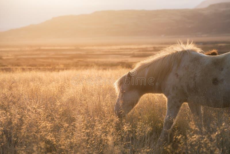 Cavalo branco que pasta em um campo em Islândia imagens de stock