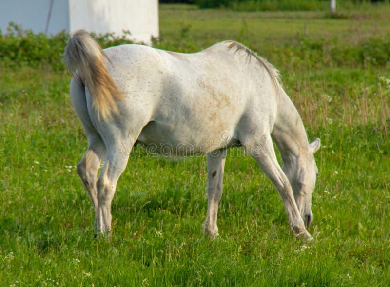 Cavalo branco que pasta no prado verde imagem de stock royalty free