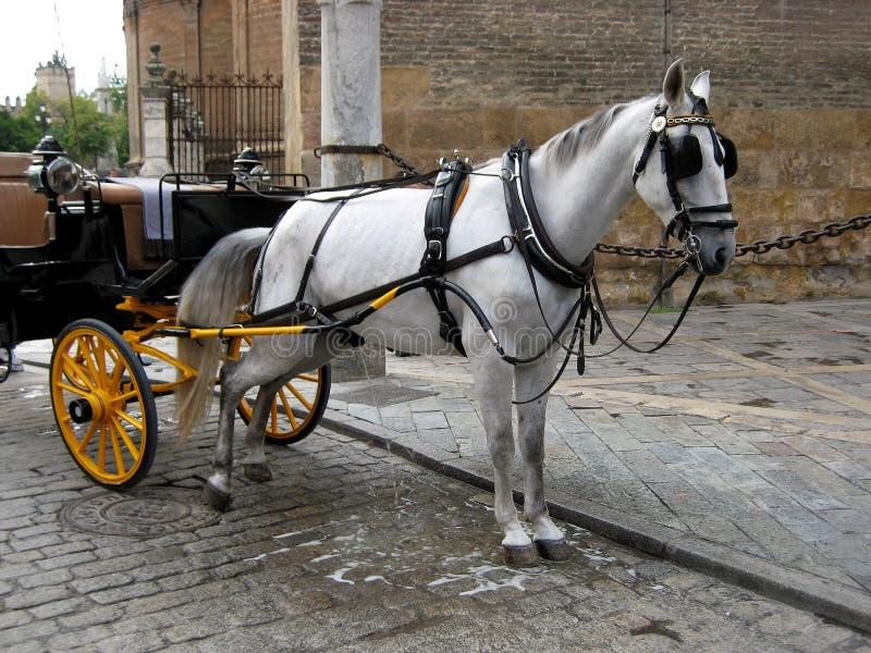 Cavalo branco que urina fotografia de stock royalty free