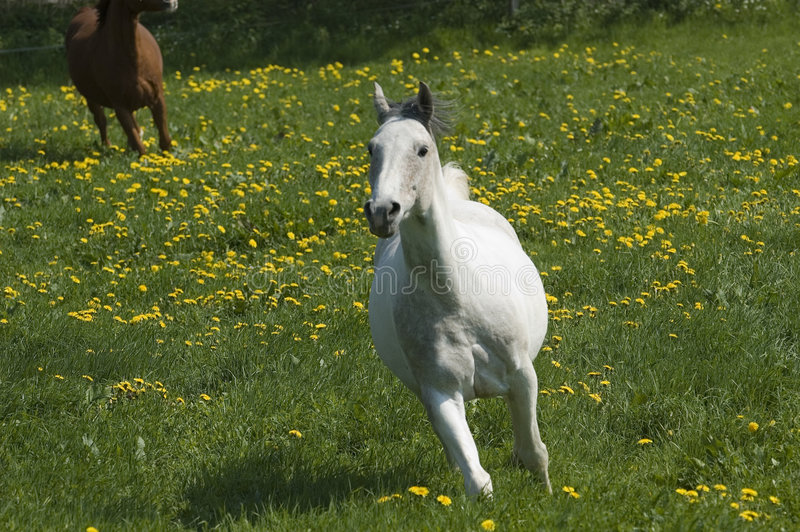 Cavalo branco rápido foto de stock royalty free