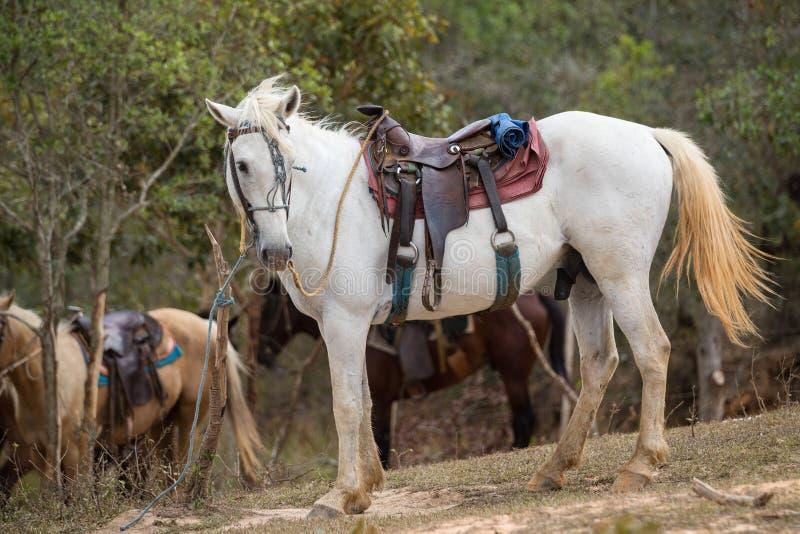 Cavalo branco selado nos vales de Vinales foto de stock