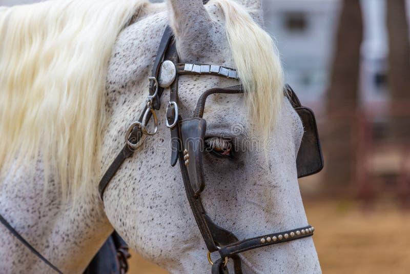 Cavalo cinzento Dappled fotografia de stock
